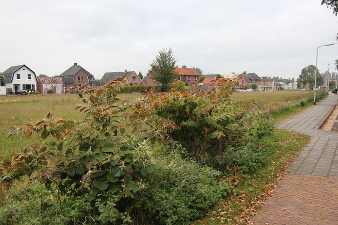 Japanse duizendknoop op het braakliggende perceel tussen Haaksbergseweg en Braak in Neede.