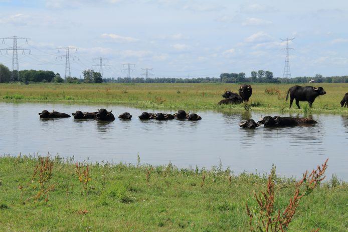 De waterbuffels in de Biesbosch