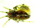 Photo d'une larve de guêpe qui s'est attachée à une araignée.