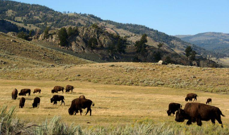 Bizons grazen in de Lamar-vallei van het Amerikaanse Yellowstone National Park.  Beeld AP