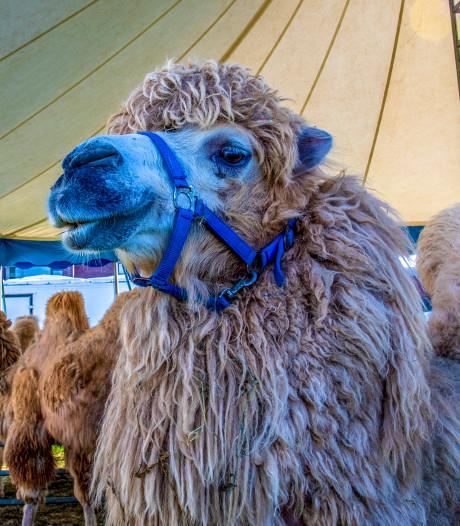 Kamelen, paarden en honden op het Steenbergse Floraplein