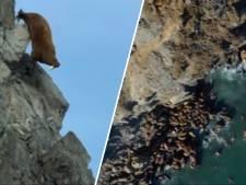 Le réchauffement climatique pousse les morses à se jeter des falaises