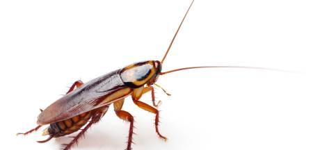 Donderdag Valentijnsdag: zeg het met een... kakkerlak!