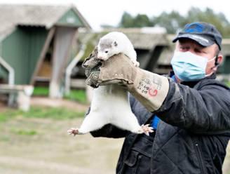 """Nertsen geven 'eigen' coronavirus door op mens: """"Ook risico in Vlaamse kwekerijen"""""""