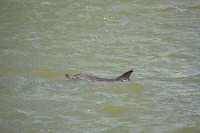 De gewone dolfijn komt normaal gesproken niet voor in de Noordzee omdat de watertemperatuur te laag is.