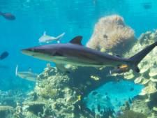 La surpêche des requins menace les coraux