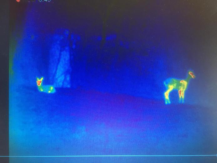 Twee reeën in hun natuurlijke omgeving, vastgelegd met de warmtebeeldcamera.