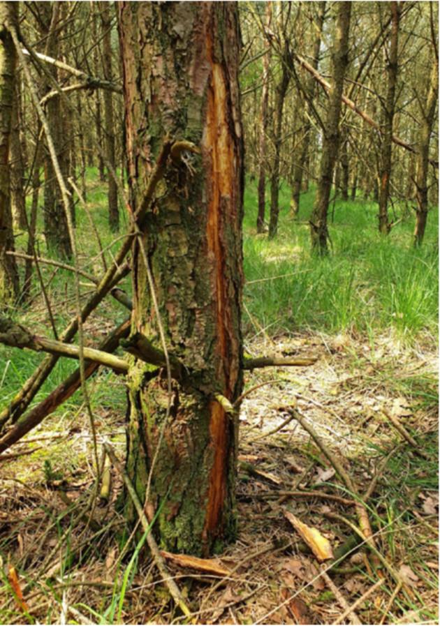 De boom waar de bliksem insloeg en een militair in opleiding zwaar verwondde.