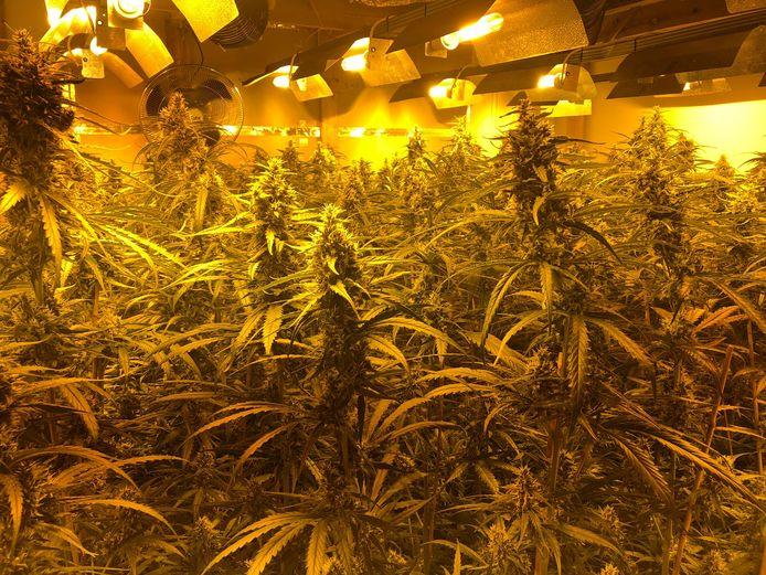 Ondersteunend beeld: een cannabisplantage.