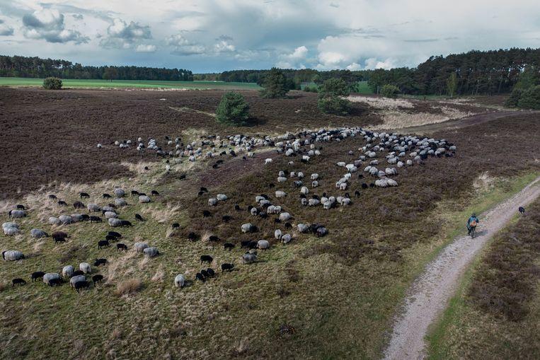 Van de 34 roedels wolven in de deelstaat Nedersaksen leven de meeste rond de Lüneburger Heide. Beeld Daniel Rosenthal / de Volkskrant