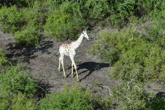 De mannelijke witte giraffe.