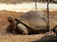 Galapagos-schildpadden van uitsterven gered