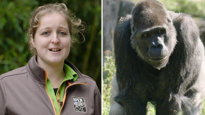 Op vrijwel hetzelfde moment raakten gorillaverzorgster Daniëlle de Pagter en de 18-jarige Gyasi zwanger. Daniëlle heeft inmiddels een kerngezonde jongen op de wereld gezet en wacht nu op de eerste nakomeling van gorillabaas Bao Bao.
