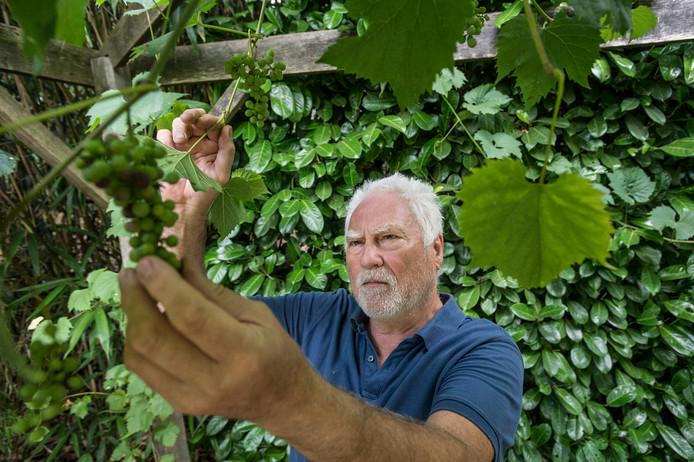 """De druiven in de tuin van Cesar Zuiderwijk zijn niet  voor eigen consumptie.  """"Die vreten vogels in één nacht weg."""""""