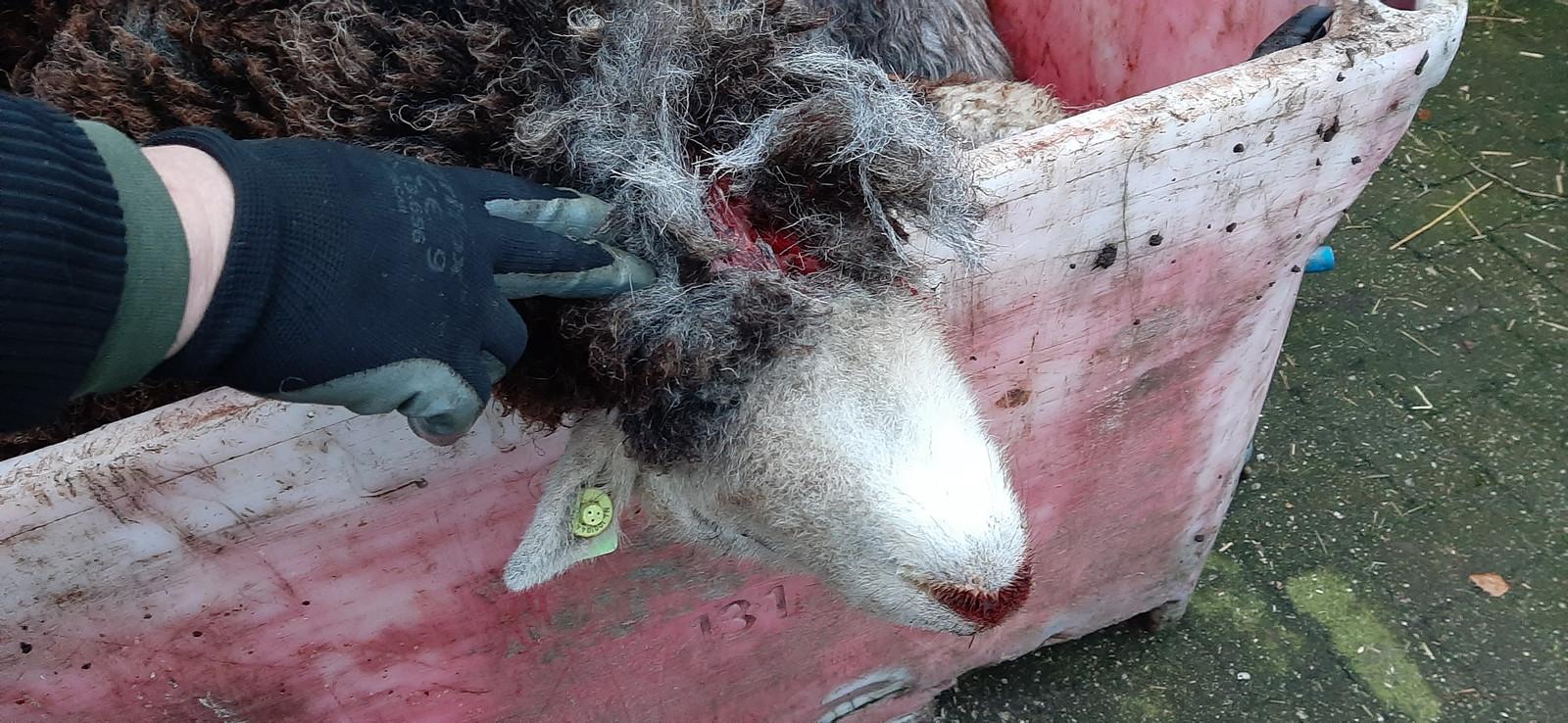 Eén van de gedode schapen in Heeswijk-Dinther.