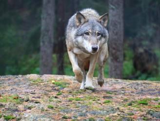 Krijgt Vlaanderen een tweede wolventerritorium? Wolf loopt al enkele dagen rond in omgeving Kalmthoutse Heide