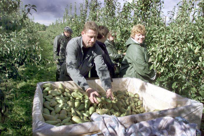 Fruitplukkers aan de slag in het Hageland (archiefbeeld).