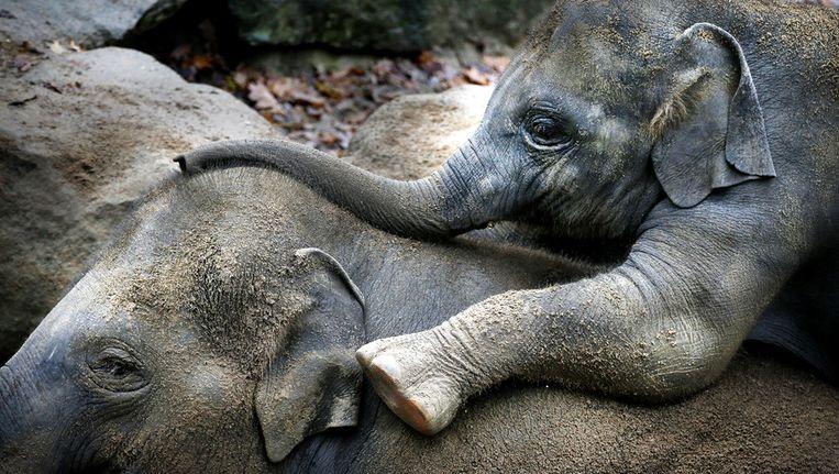 Moeder met jong in Dierenpark Emmen Beeld ANP