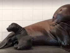 Ouwehands Dierenpark verwelkomt pasgeboren zeeleeuw