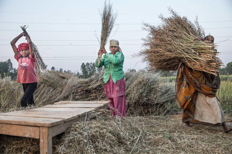 Vrouwen dorsten droge mosterdplanten in de buurt van Churghutawa, India. Boeren kregen altijd vaste prijzen voor hun oogst, maar de regering wil nu af van dat systeem. Beeld Marlena Waldthausen