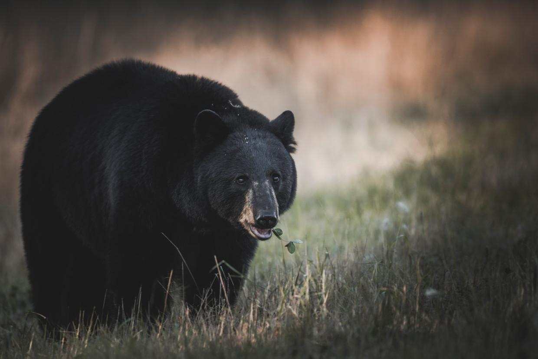 'Free Town Project' werd geteisterd door zwarte beren Beeld VWPics/Universal Images Group vi