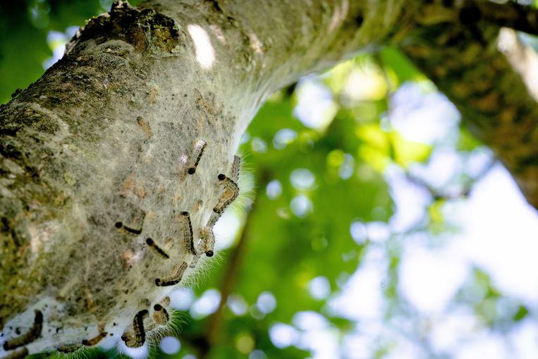 Een nest van de eikenprocessierups. De eerste eikenprocessierupsen krijgen rond deze tijd brandharen en die kunnen bij mensen die ermee in contact komen voor ernstige klachten zorgen.  Beeld ANP