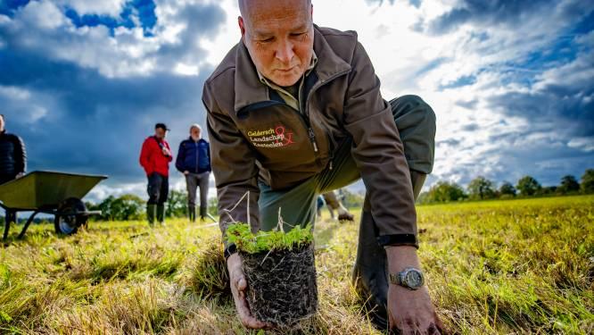 Met zaad en nieuwe pollen wordt dit zeldzame kruid gered in Epe: 'De natuur is een handje geholpen'