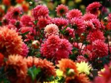 Negeren van de winter lijkt dahlia's niet te deren