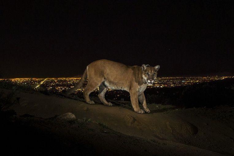 Eerste prijs Natuur<br /><br />Een automatische camera maakt een foto van een poema, die 's nachts door een natuurpark even buiten Los Angeles loopt. Beeld Steve Winter
