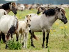 Rechtszaak moet slacht konikpaarden voorkomen