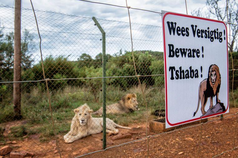 In het Zuidafrikaanse Zeerust worden leeuwen gefokt om later bejaagd te kunnen worden.  Beeld Hollandse Hoogte / Jeroen van Loon
