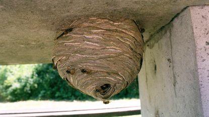 Brandweer laat man wespennest zelf verdelgen: 38 keer gestoken