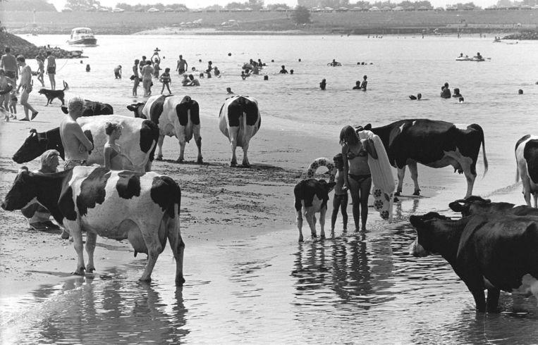 Koeien in de lek bij Vianen. Beeld ANP