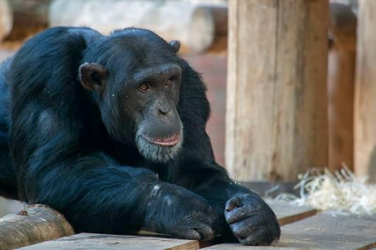 Chimpansee Karibuna was de zoon van chimpansee Mike. Beiden werden doodgeschoten toen ze uit hun verblijf waren ontsnapt.