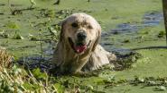 Corona velt ook hondenzwemming in oktober