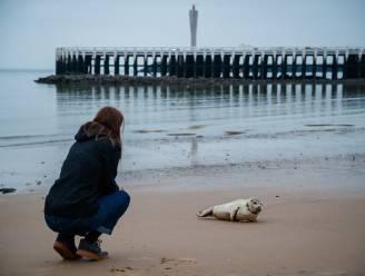 """""""De 'selfienemers' vormen het grootste probleem"""": tientallen vrijwilligers zijn de bodyguards van de zeehonden aan onze kust"""