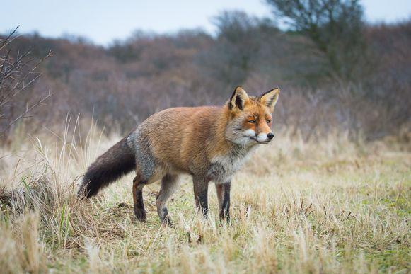 (Archiefbeeld) Een vos in het wild.