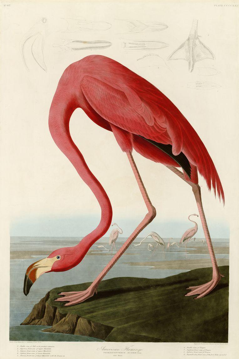 Een prent van een flamingo uit 'The Birds of America' van Audubon. Beeld Getty