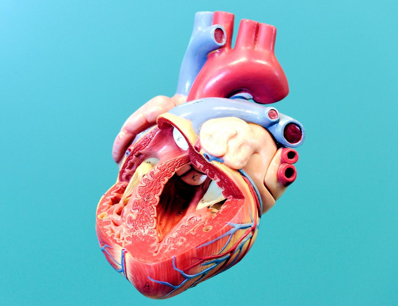 Model van een menselijk hart.
