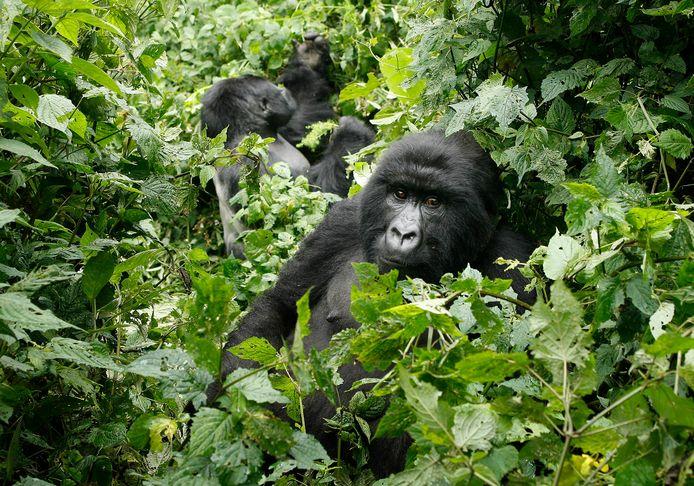Rwanda is het thuis van de laatste populatie berggorilla's, waarvan er minder dan duizend over zijn.