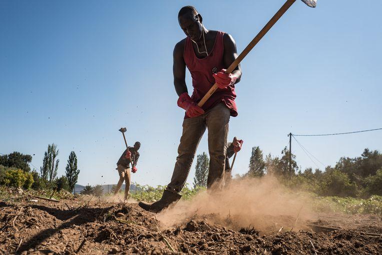 Deng uit Zuid-Soedan werkt met vier andere migranten op de kleine boerderij van Nikos Katsouris en zijn vrouw Katerina op Lesbos. Sinds het begin van de migrantencrisis probeert de familie Katsouris zo de aangekomen vluchtelingen te helpen, op het eiland wordt hun initiatief niet altijd gewaardeerd. Beeld Nicola Zolin