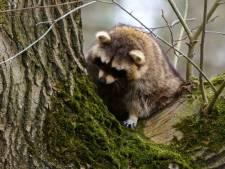 'Stichting Aap en dierenambulance verdienen extraatje voor opvang Vughtse wasbeertjes': crowdfunding gestart