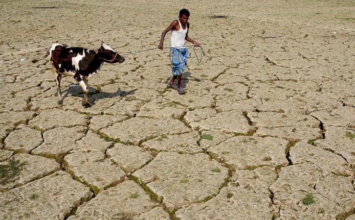Een Indiase boer loopt met zijn koe op een uitgedroogd rijstveld in het dorp Srilankabasti, aan de rand van Agartala, de hoofdstad van Tripura. Foto Arindam Dey