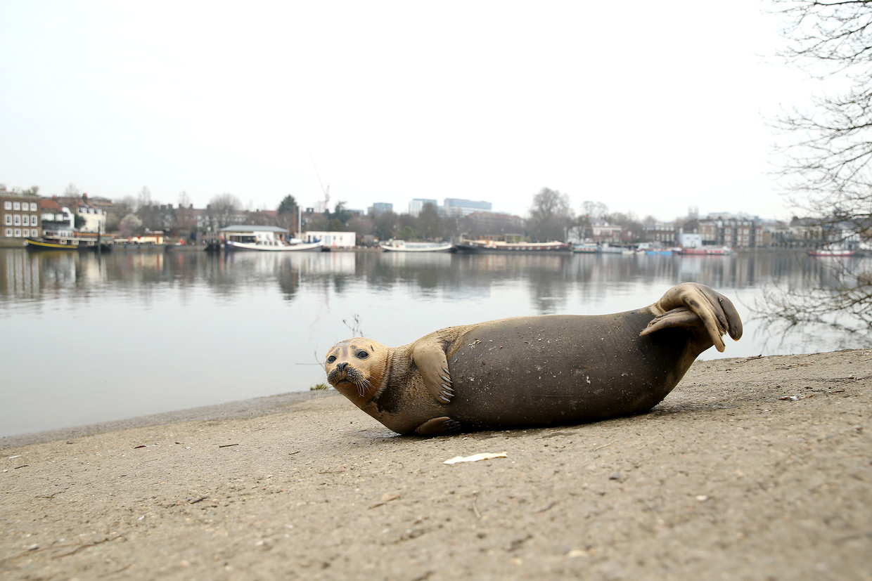 De zeehondenpup Freddy op de oever van de Theems in Londen. De pup is onlangs aangevallen door een hond, en vanwege zijn verwondingen afgemaakt. Beeld Getty Images