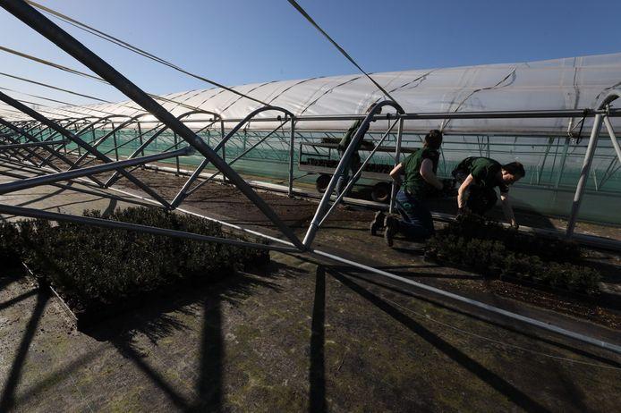 Ergon-medewerkers bezig op kwekerij Bokt. Een groot aantal tunnels stortte in of raakte zwaar beschadigd tijdens de sneeuwval van enkele weken geleden. De vernielde kassen worden momenteel gesloopt.