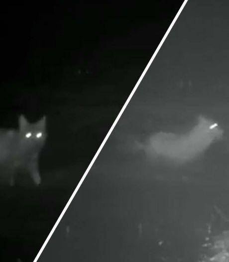 Spectaculaire beelden wolf en edelhert: wie zit nu achter wie aan?