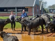 Nieuwe waterbuffelboerderij: 'Ze lijken op koeien, gedragen zich als varkens en zijn nieuwsgierig als geiten'