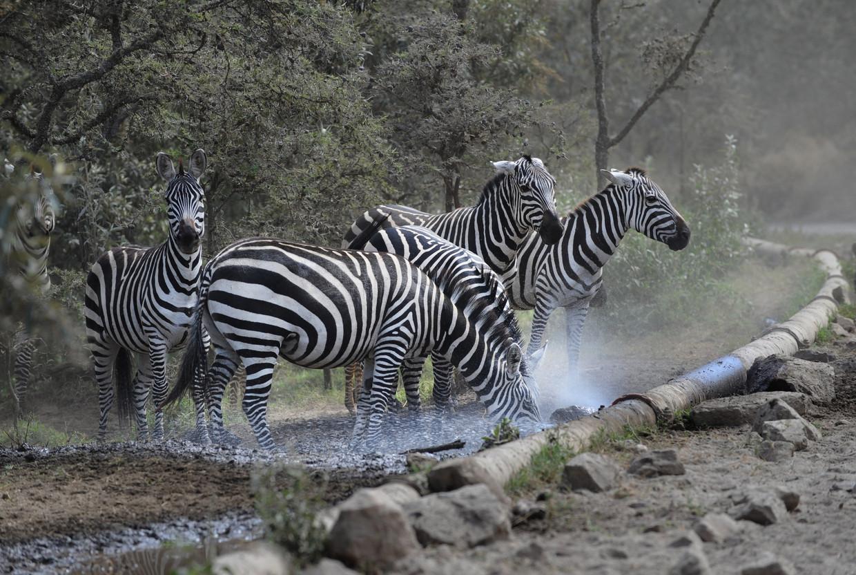 Zebra's bij een lekkende waterpijp dicht bij de geothermische fabriek in het Hell's Gate National Park, Kenia.  Beeld AFP