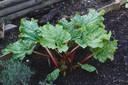 Rabarber planten in de moestuin kan goed in oktober.