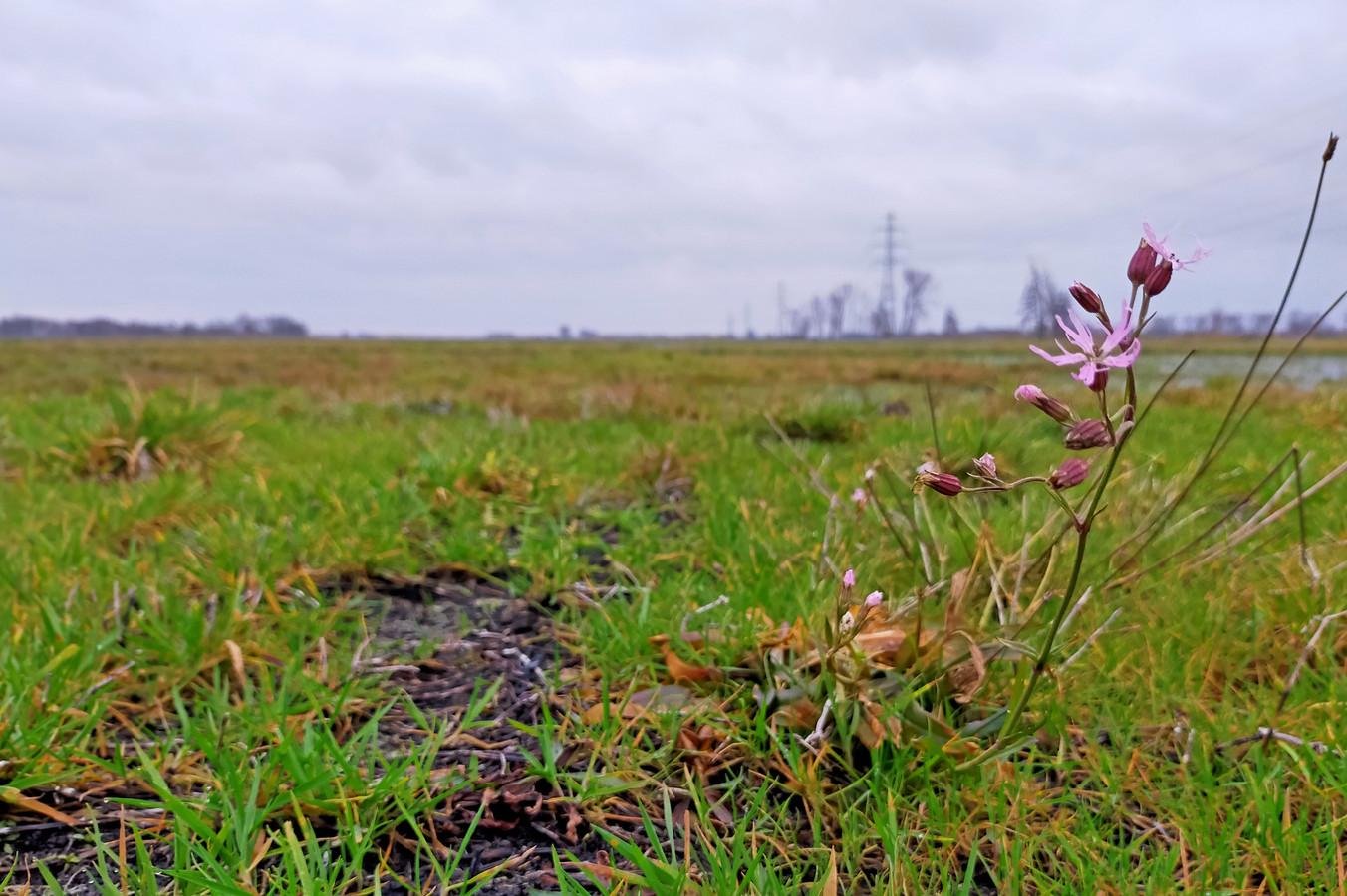 De echte koekoeksbloem bloeit tot diep in de winter in het Binnenveld.